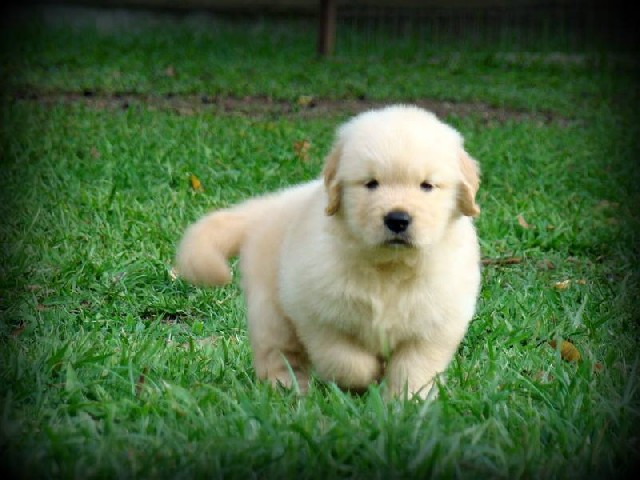 Foto 1 - Lindos filhotes de golden retriever